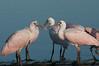 • Location - Stick Marsh<br /> • Roseate Spoonbills that are beak to beak