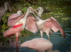 • Location - Stick Marsh<br /> • A juvenile Roseate Spoonbill that appreciate its mother for feeding him/her.
