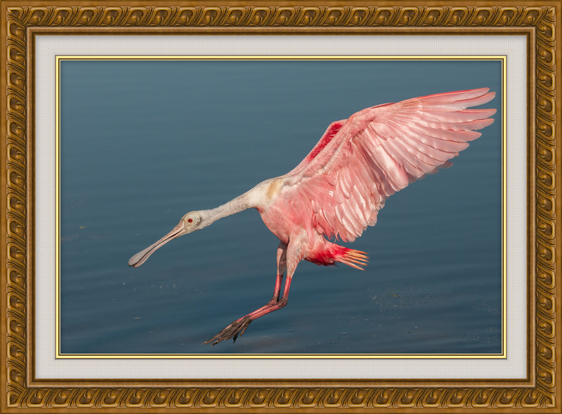 • Location - Stick Marsh<br /> • This is an non-cropped photo of the adult Roseate Spoonbill coming in for a landing. For me it is a one million shot!