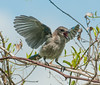 • Location - St. Sebastian River Preserve State Park<br /> • A juvenile Scrub Jay that excited when I was taken its photo
