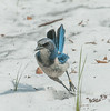 • Location - St. Sebastian River Preserve State Park<br /> • Scrub Jay that was on the move
