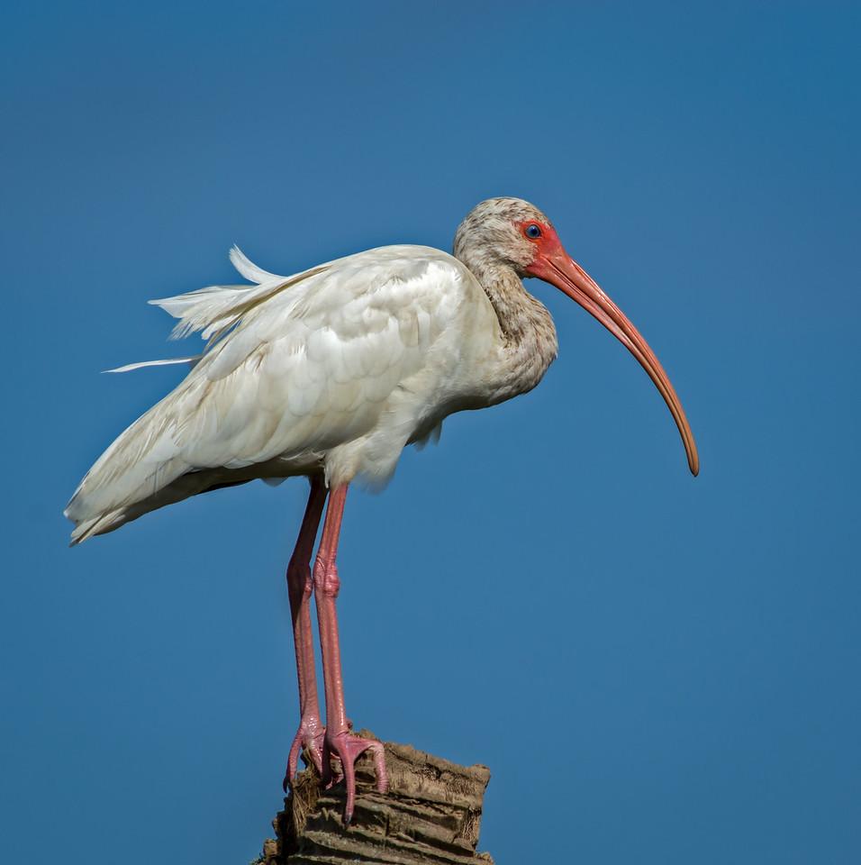 • Location - Viera Wetlands<br /> • Immature White Ibis