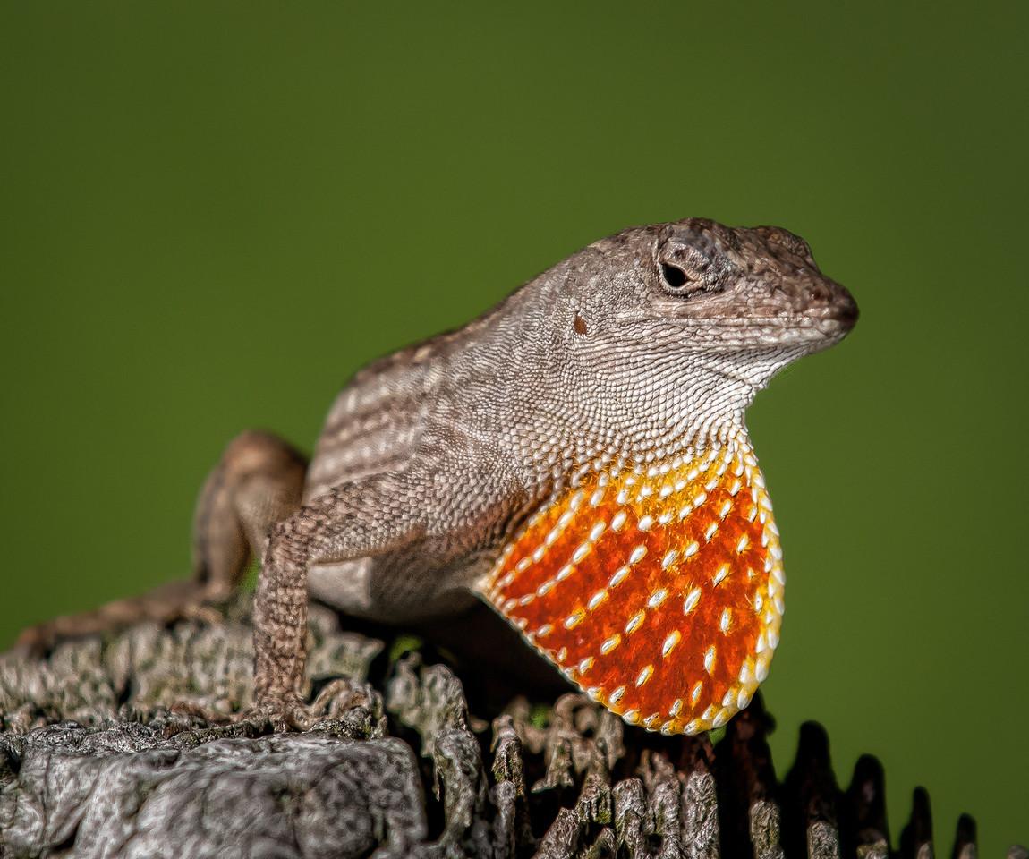 • Location - Joe Overstreet<br /> • Brown Anole Lizard displaying dewlap