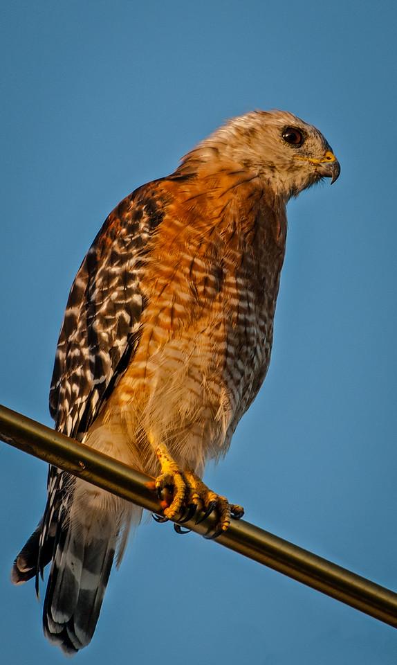 • Location - Stick Marsh<br /> • Red-shouldered Hawk
