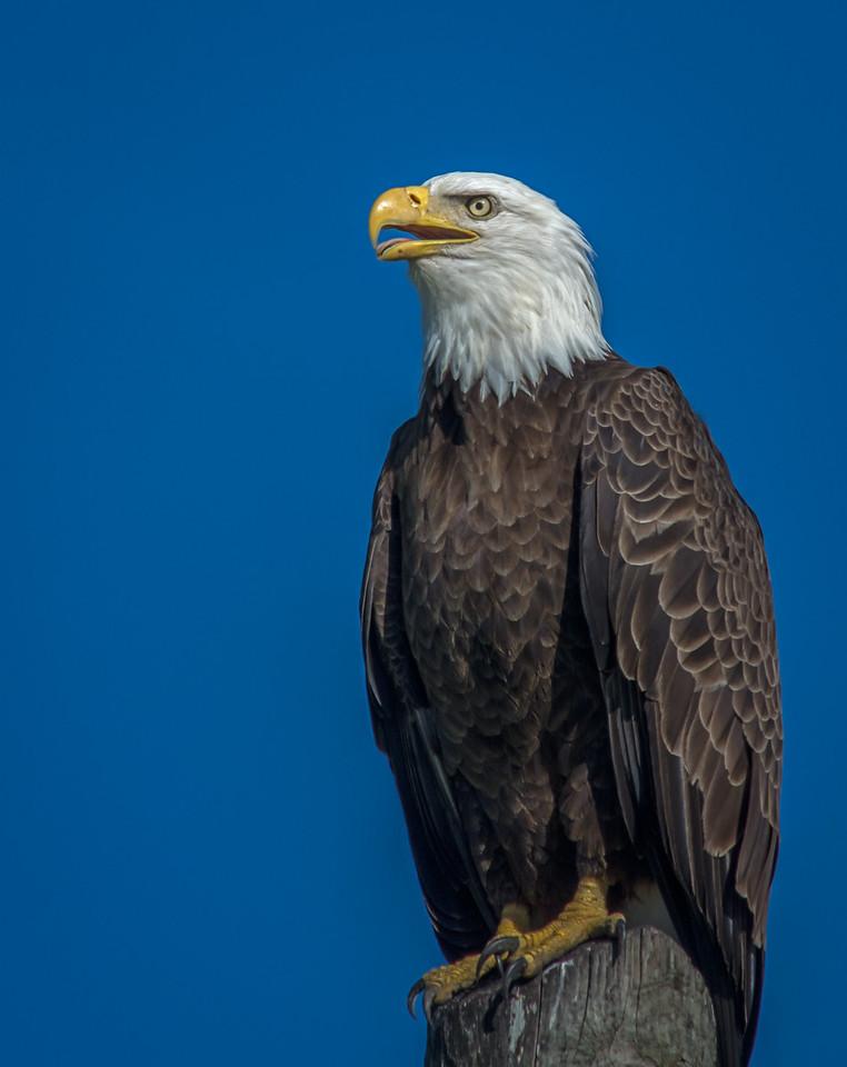 • Location - Viera Wetlands<br /> • Bald Eagle