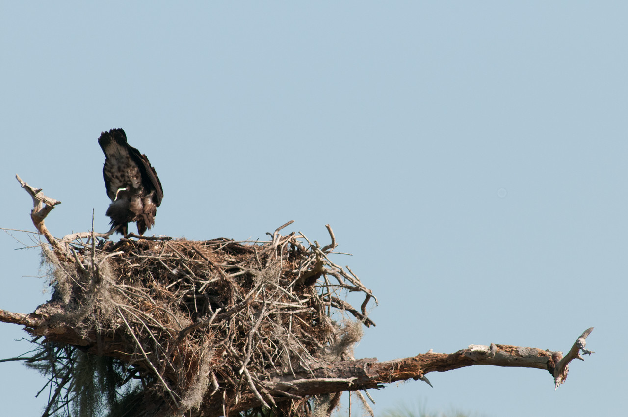 •Location - Canoe Creek Rd<br /> • Young Eaglet doing its poop shot for me