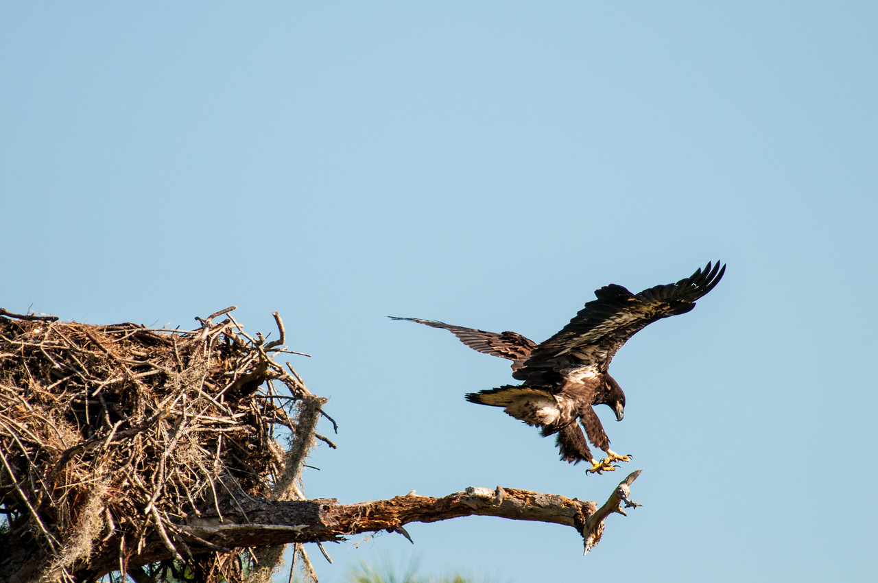 •Location - Canoe Creek Rd<br /> • Young Eaglet trying out its wings