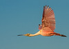 • Location - Stick Marsh<br /> • Roseate Spoonbill in flight