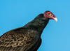• Location - Stick Marsh<br /> • Turkey Vulture - That's one ugly head