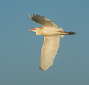 • Location - Stick Marsh<br /> • Cattle Egret in flight