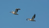 • Location - Stick Marsh<br /> • A pair of American White Pelicans in flight