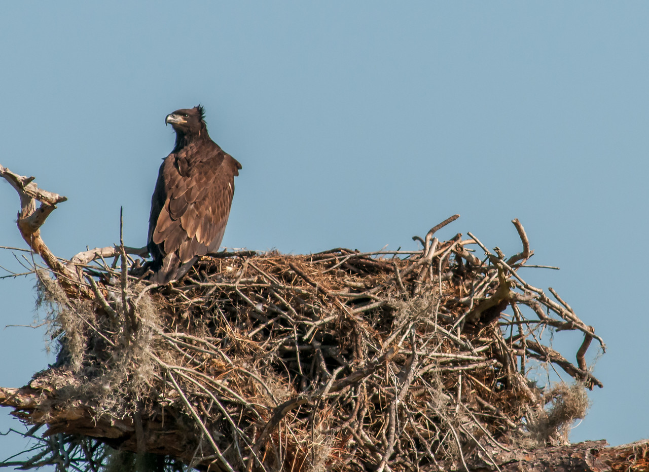 • Location - Canoe Creek Rd<br /> • Young Eaglet