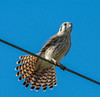 • Location - Buffer Preserve Dr<br /> • American Kestrel