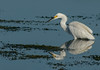• Location - Viera Wetland<br /> • Snowy Egret with its reflection