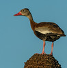 • Location - Viera Wetland<br /> • Black-Bellied Whistling