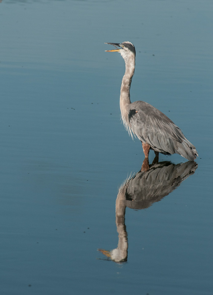 • Location - Viera Wetland<br /> • A Great Blue Heron with its reflection