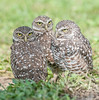 • Location - Brain Piccolo Park<br /> • A trio of Burrowing Owls