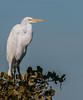 • Location - Merritt Island National Wildlife Refuge<br /> • Just a portrait of a Great Egret