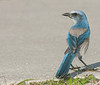 • Location - Merritt Island National Wildlife Refuge<br /> • Scrub Jay