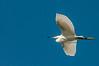 • Location - Merritt Island National Wildlife Refuge<br /> • Snowy Egret in flight