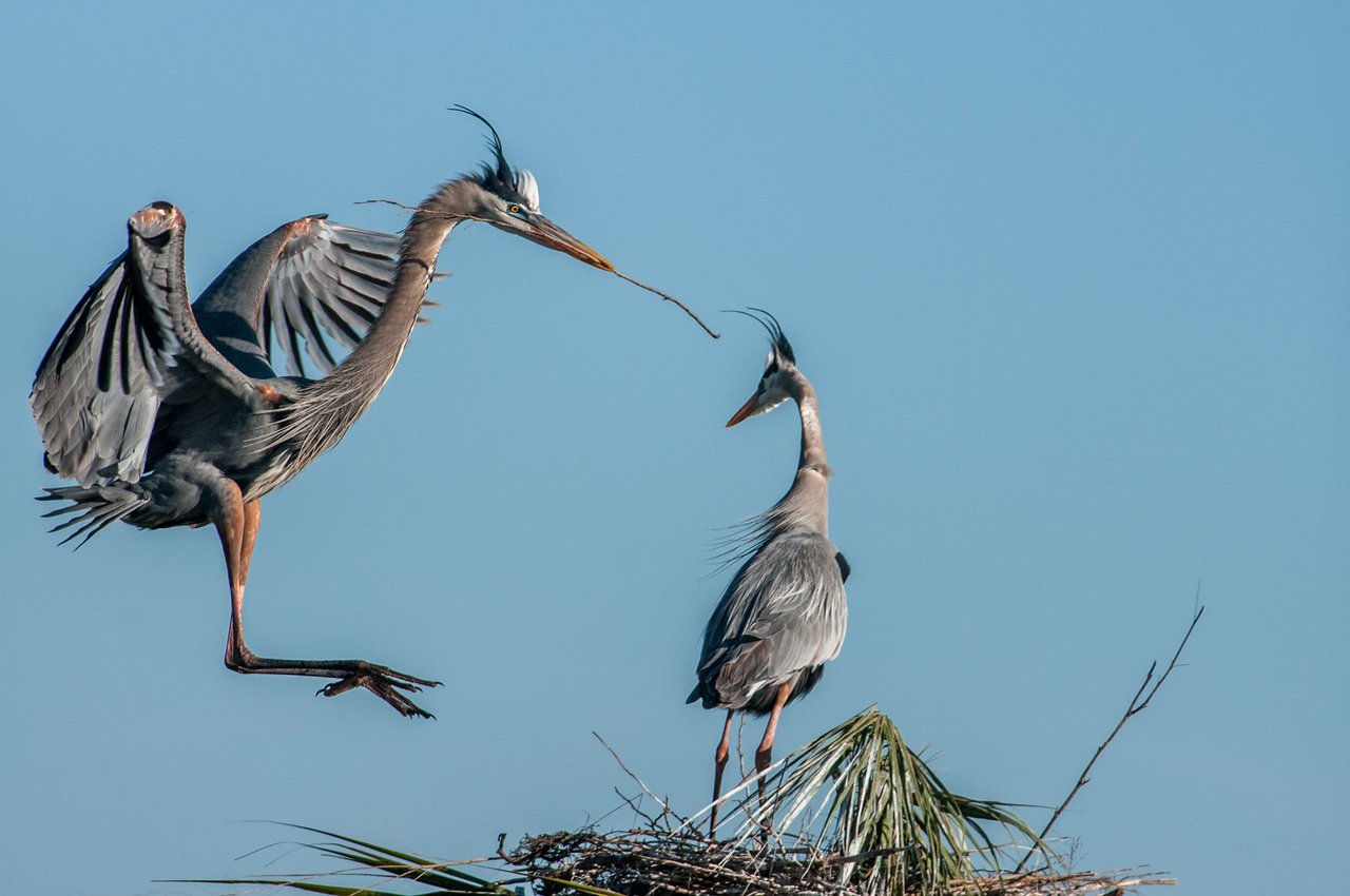 • Location - Viera Wetlands and surrounding areas<br /> • Great Blue Heron coming in for landing with some nesting material