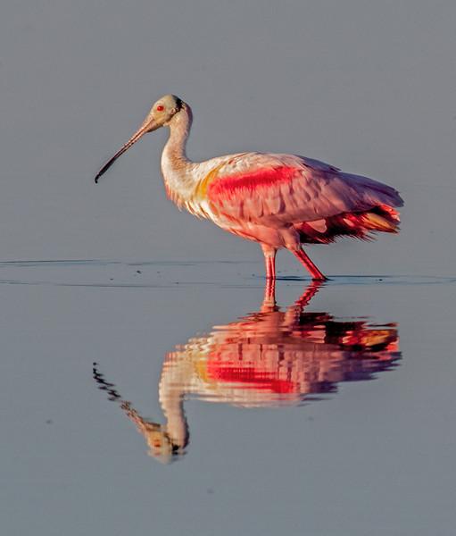 • Location - Merritt Island National Wildlife Refuge<br /> • Roseate Spoonbill