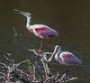 • Location - Merritt Island National Wildlife Refuge<br /> • A pair of Roseate Spoonbill