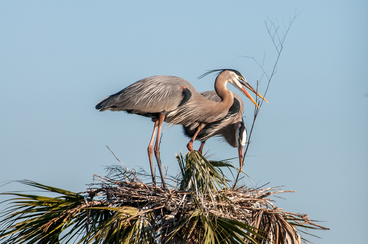 • Location - Viera Wetlands and surrounding areas<br /> • Great Blue Herons in the process of building their nest