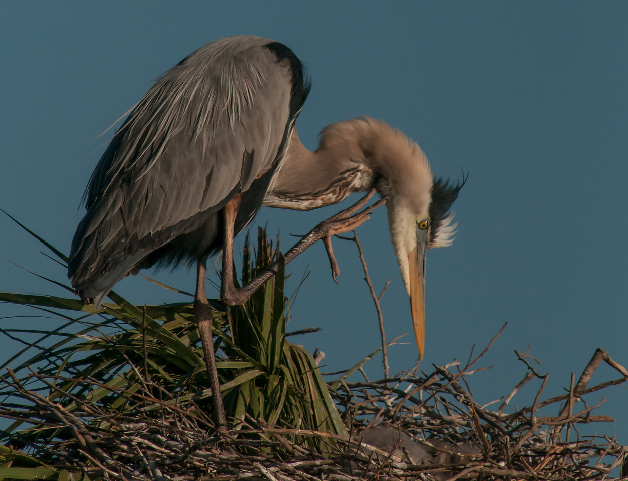 • Location - Viera Wetlands and surrounding areas<br /> • Great Blue Heron scratching itself
