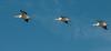 • Location - Merritt Island National Wildlife Refuge<br /> • A trio of American White Pelicans In flight