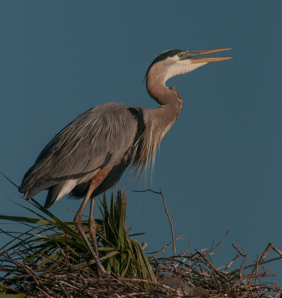• Location - Viera Wetlands and surrounding areas<br /> • Great Blue Heron calling for its mate