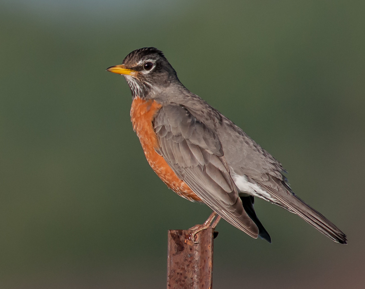 • Location - Viera Wetlands and surrounding areas<br /> • American Robin