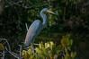 • Location - Merritt Island National Wildlife Refuge<br /> • Tri--colored Heron