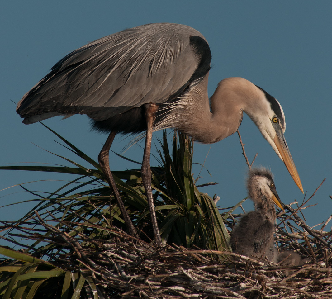 • Location - Viera Wetlands and surrounding areas<br /> • Great Blue Heron mom with its babies