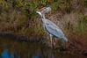 • Location - Merritt Island National Wildlife Refuge<br /> • Great Blue Heron with its big catch