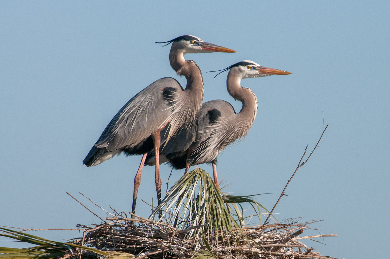 • Location - Viera Wetlands and surrounding areas<br /> • Great Blue Heron standing at attention