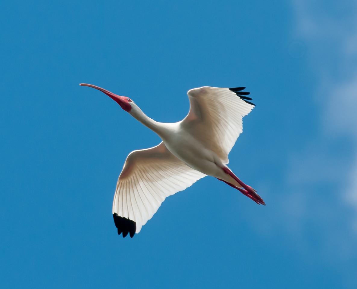 •Location - Viera Wetlands<br /> • White Ibis in flight