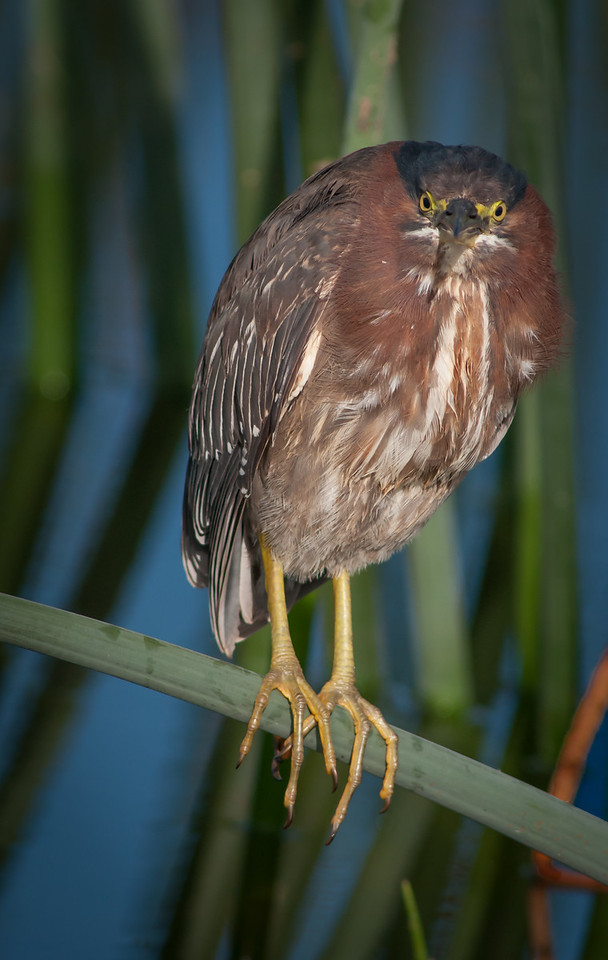 • Location - Viera Wetlands<br /> • Green Heron trying to hide from me