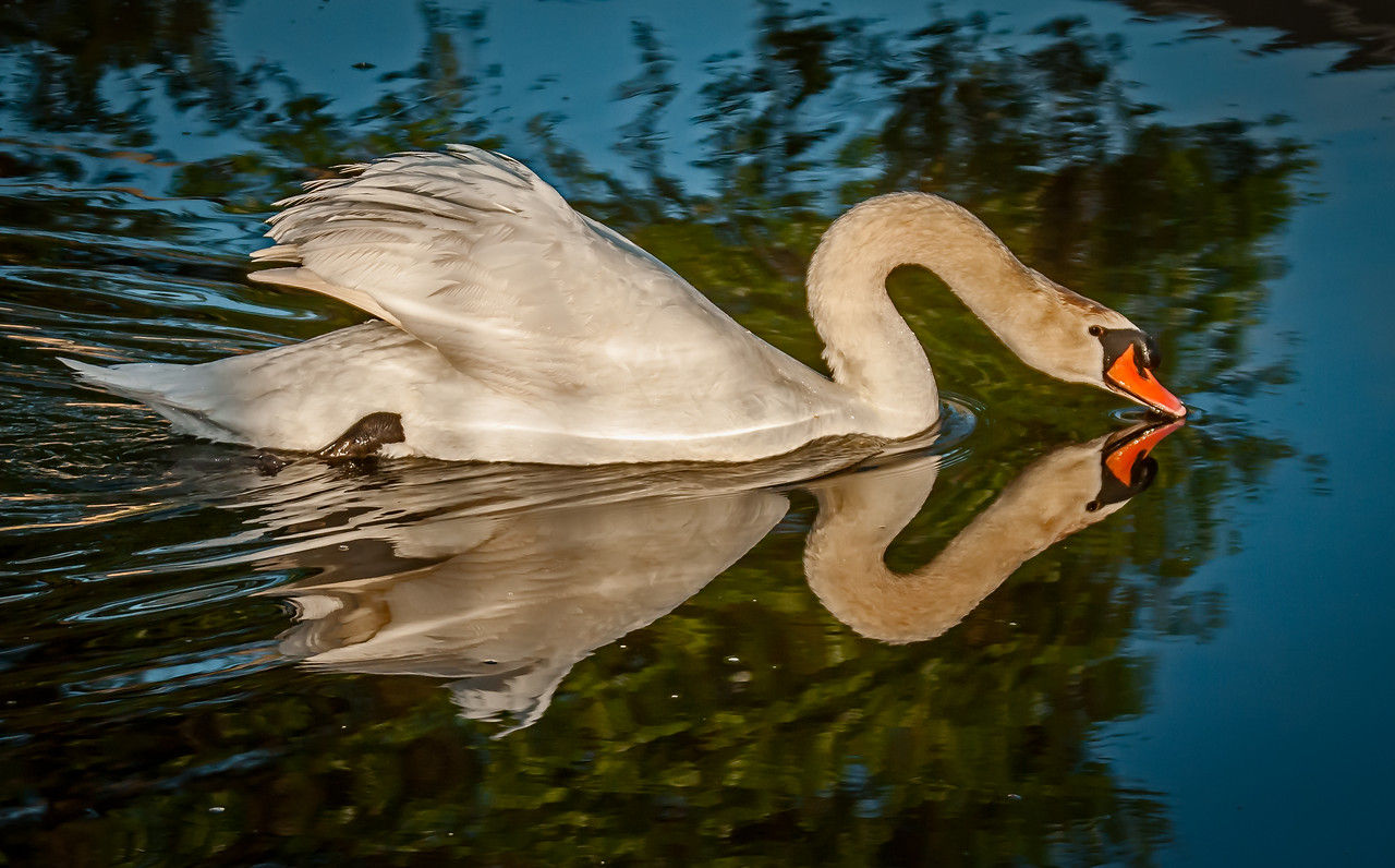 • Location - Viera<br /> • Male Mute Swan swimming near the nest with its reflection