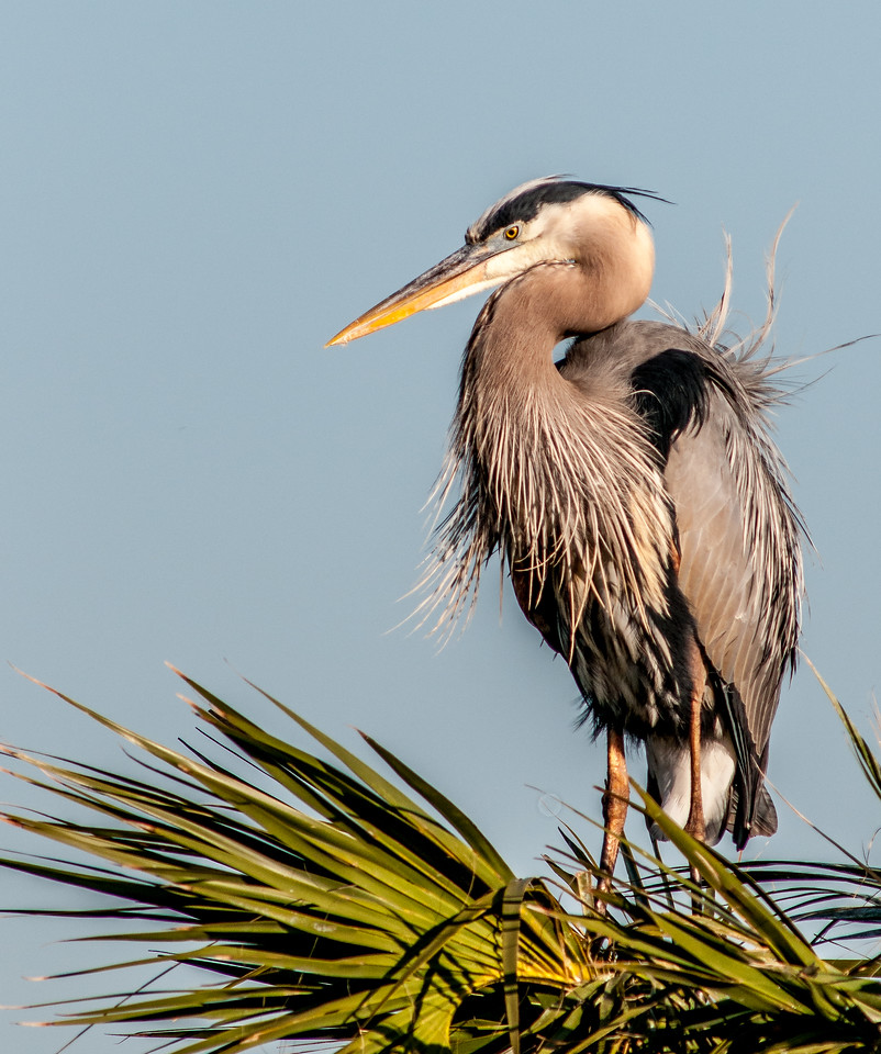 • Location - Viera Wetlands<br /> • Great Blue Heron