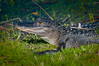•Location - Viera Wetlands<br /> • American Alligator sunning itself