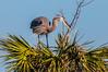•Location - Viera Wetlands<br /> • Great Blue Heron building its nest