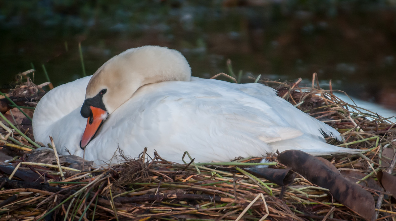 • Location - Viera<br /> • Mute Swan in her nest