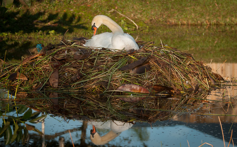• Location - Viera<br /> • Mute Swan in its nest with her reflection