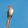 •Location - Viera Wetlands<br /> • Northern Mockingbird
