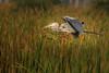 Great Blue Heron bringing back nesting material