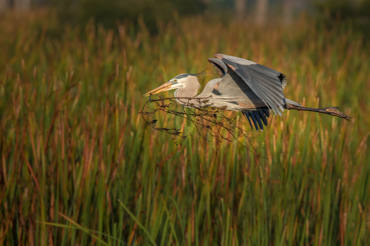 Great Blue Heron bringing back nesting material