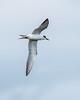 Foster's Tern in flight