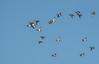 A flock of Lesser Scaups in flight