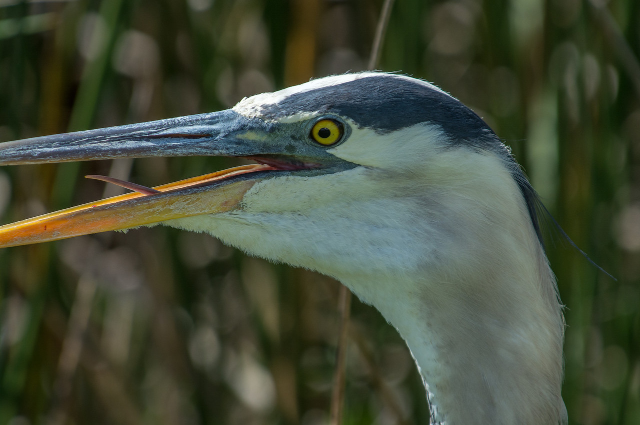 • Great Blue Heron<br /> • ISO 250, f-8.0, 1/1000 Sec<br /> • LR 5<br /> • Cropped size - 5477 X 3643
